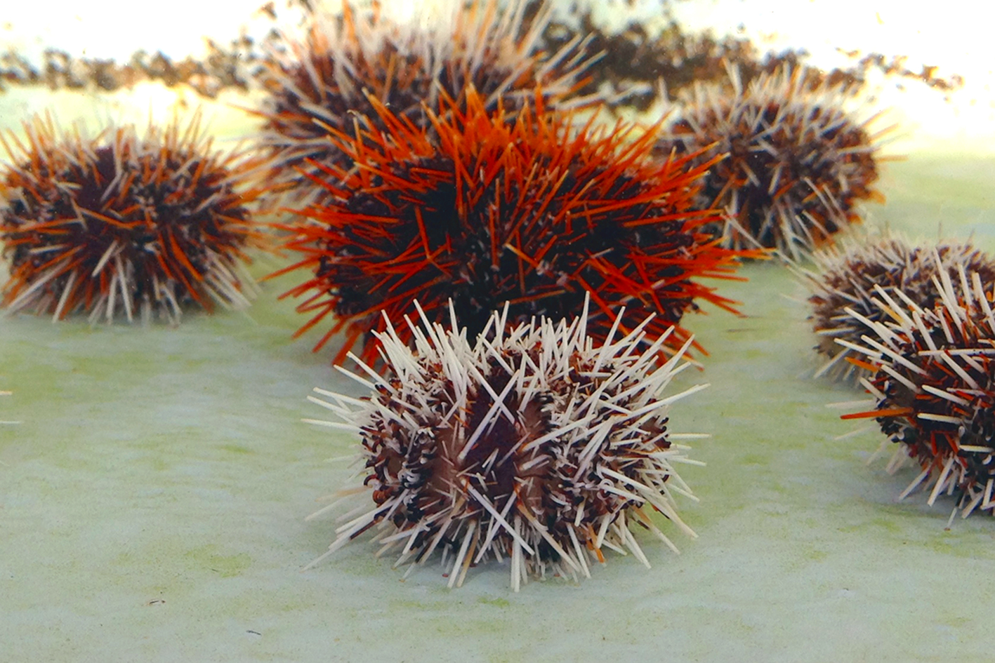 Collector sea urchin