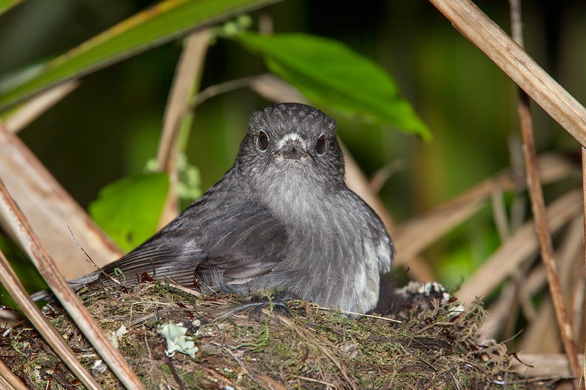 Robin on a nest