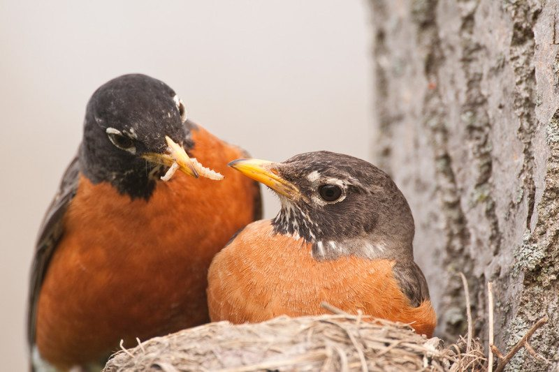 New Zealand robins sharing food