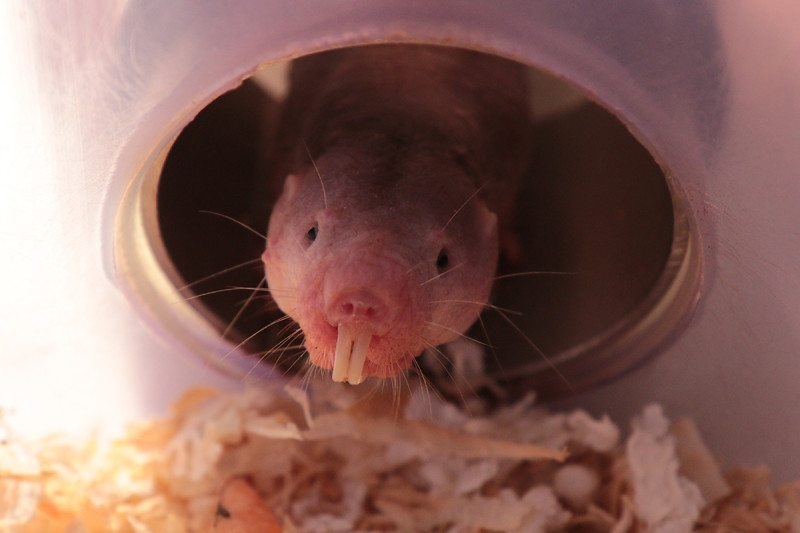Naked mole-rats essentially turn into plants when oxygen is low