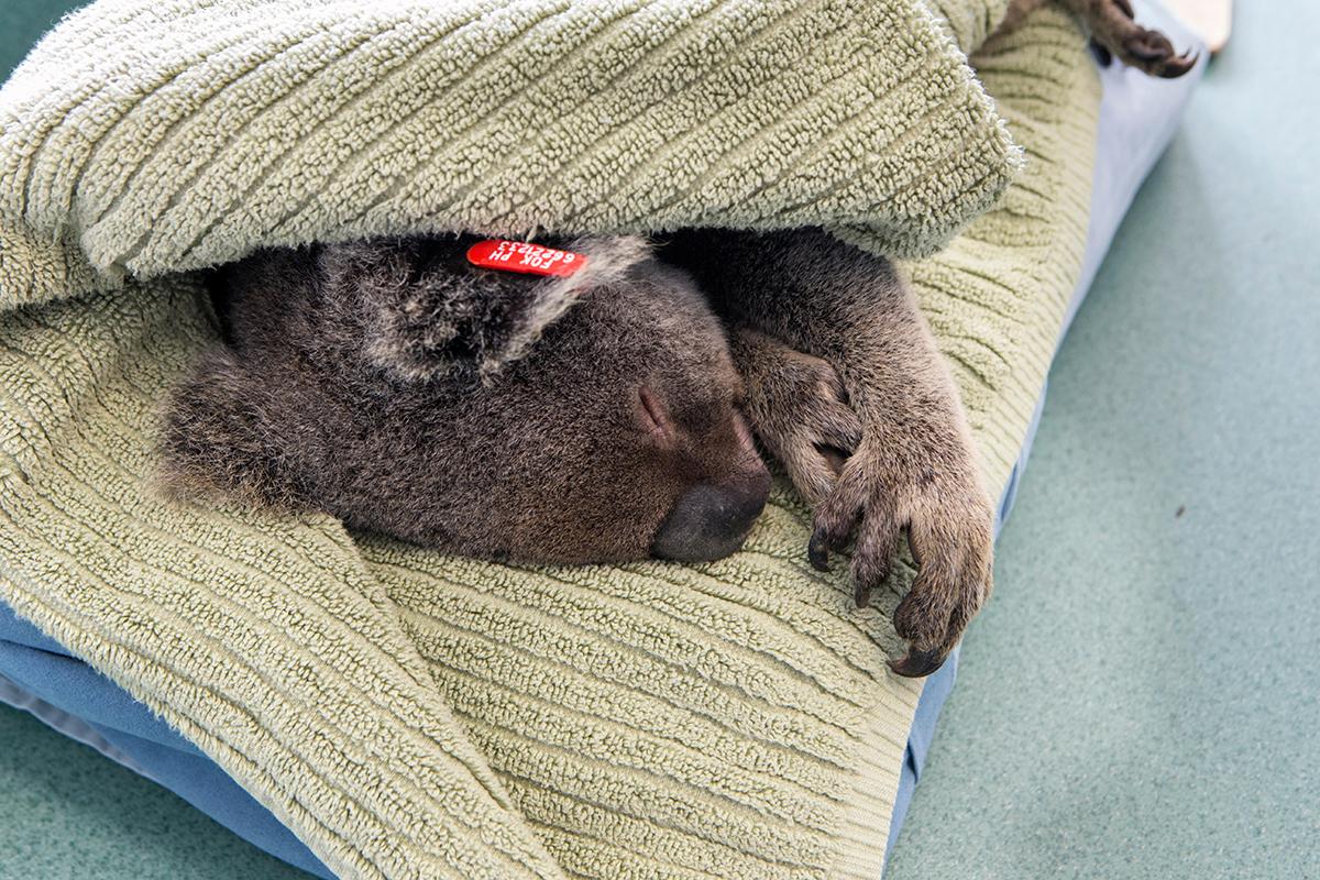 Chlamydia vaccine for koalas slows spread of deadly disease