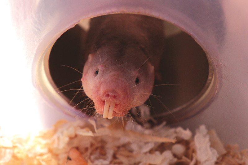 mole rat