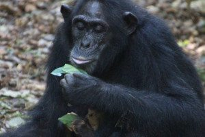 A chimp holding a leaf, possibly drinking from it