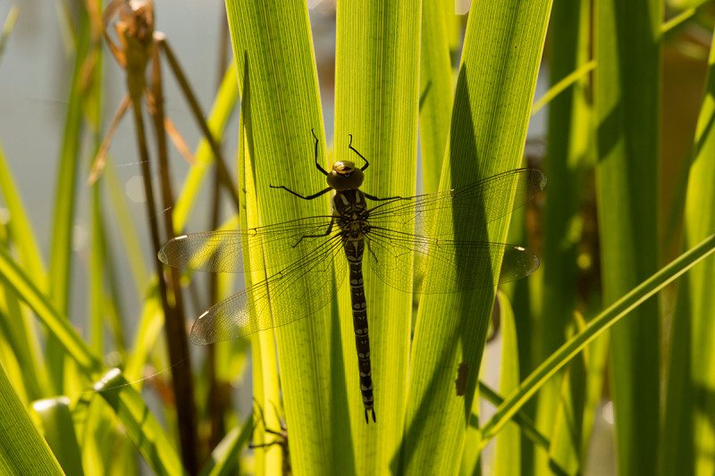 Female Dragonflies Will Literally Play Dead to Avoid Unwanted Male Dragonfly Advances
