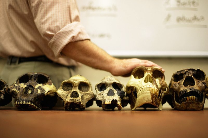 Models of the skulls of human ancestors
