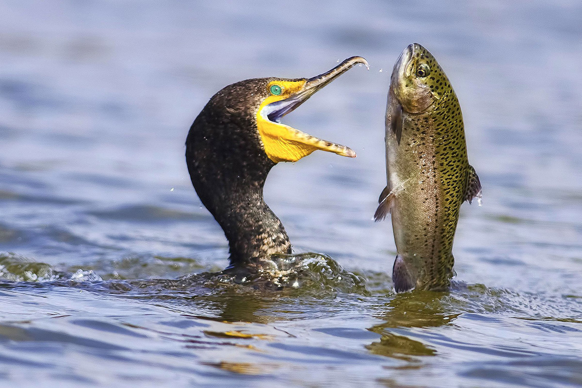 cormorant catching a rainbow trout