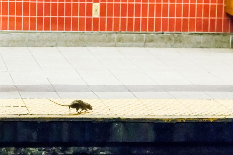 Rat on subway platform
