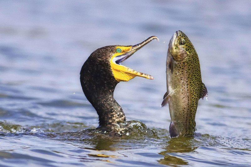 bird eating a fish