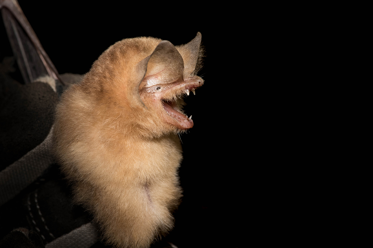 The Cuban funnel-eared bat may be adapted to forage in dense, tangled forest