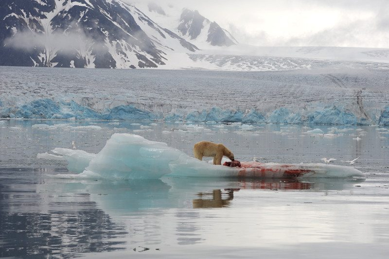 Polar bear eating seal on floating ice