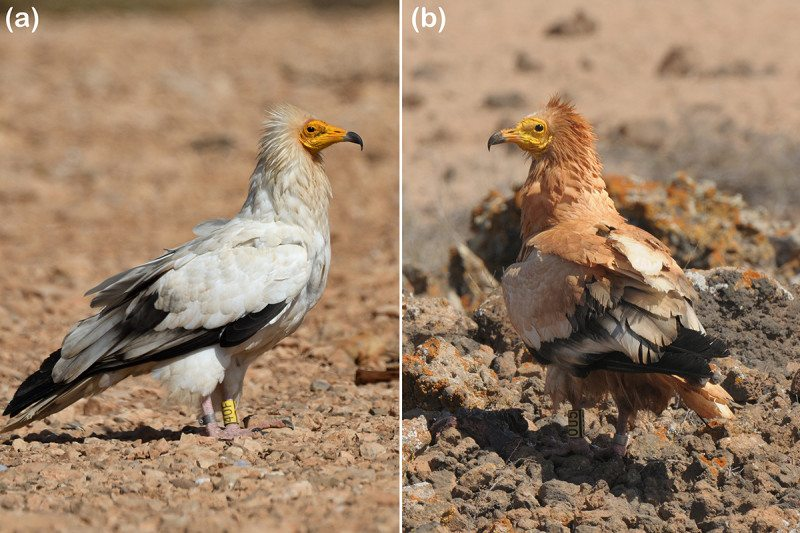 Side-by-side comparison of an Egyptian vulture with and without the mud make-up