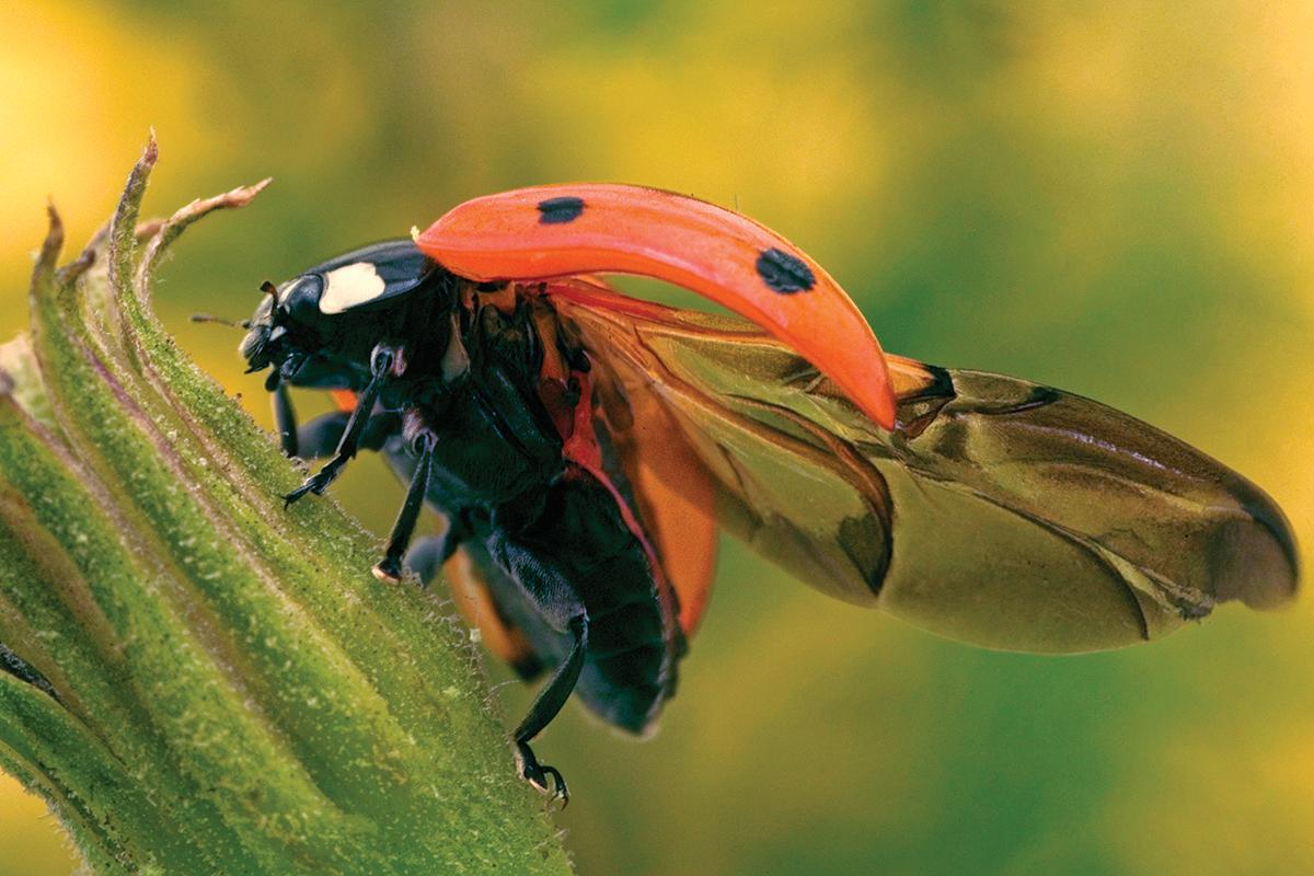 ladybirds - photo #44
