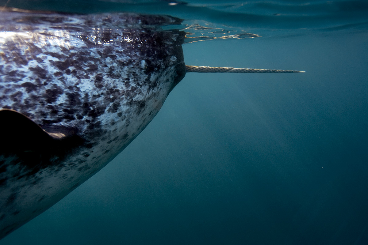 Narwhals could help us measure melting glaciers underwater
