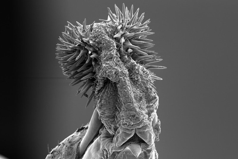Scanning electron microscope picture of the male cowpea seed beetle's penis