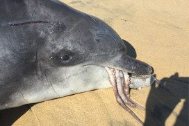 Gilligan the bottlenose dolphin, as he was found
