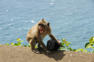 Macaque with stolen goods