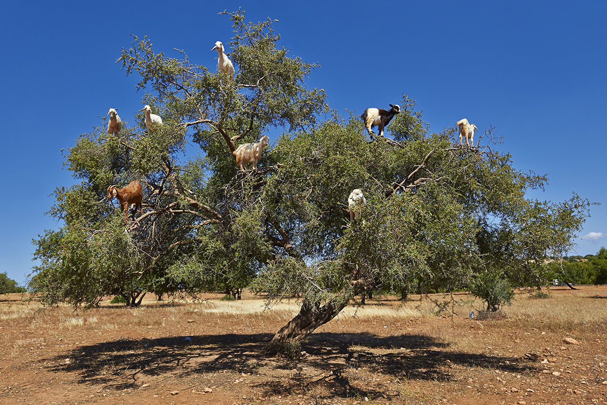 Tree-climbing goats spit out and disperse valuable argan seeds