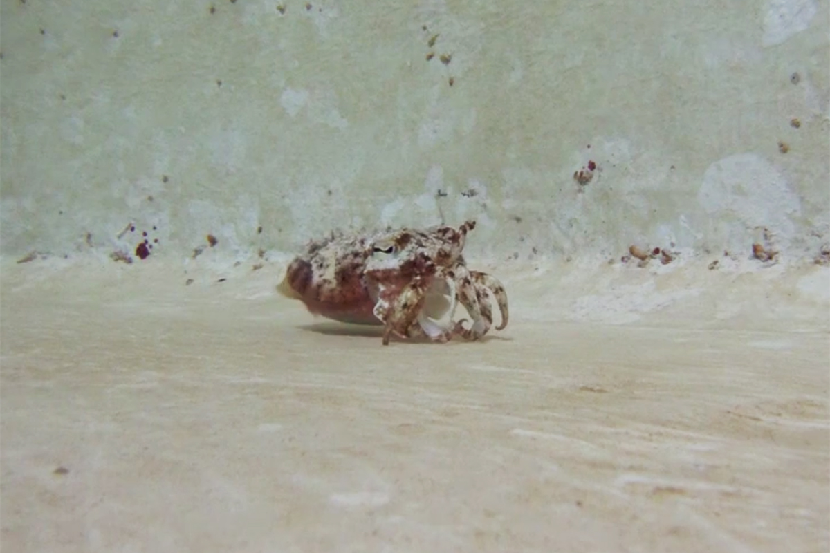 cuttlefish being a crab