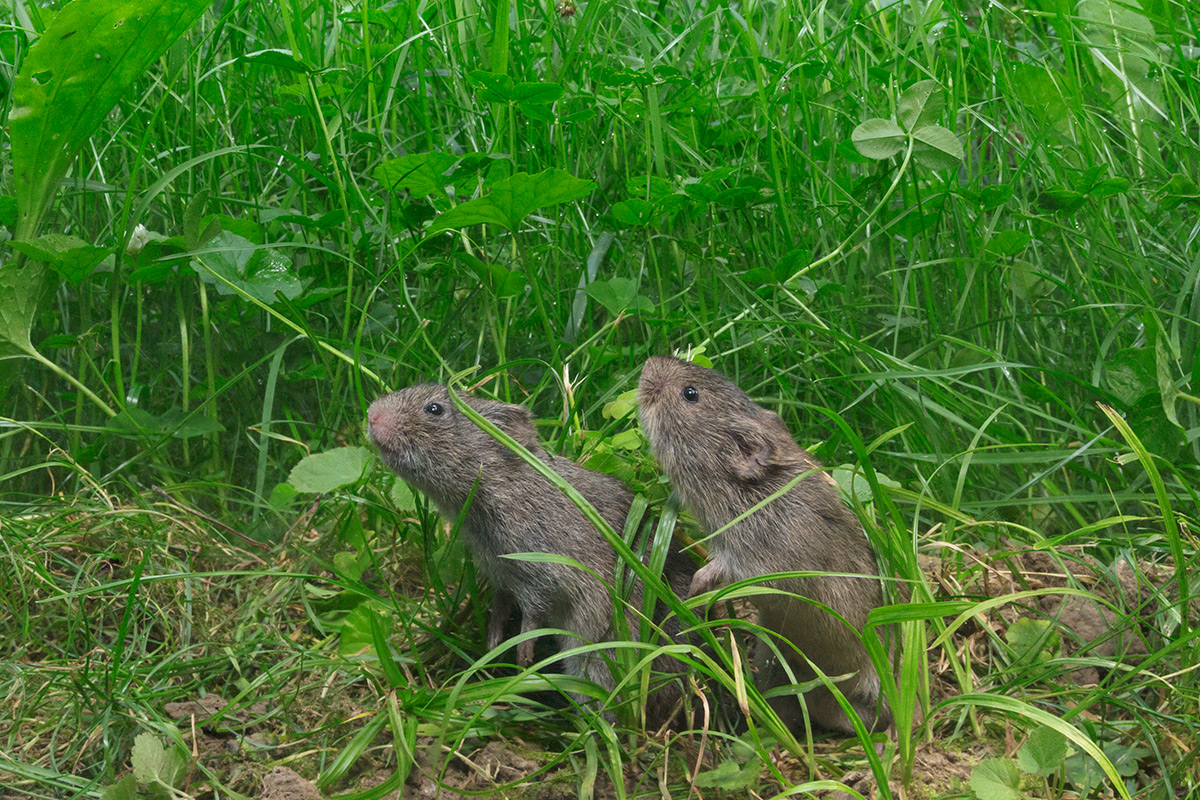 Brain switch in voles makes them fall in love at first sight