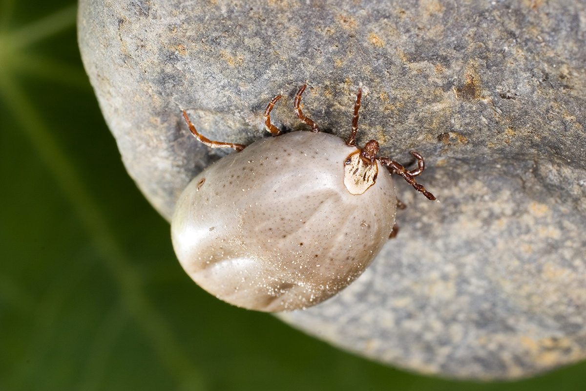 how to get a tick out of your skin