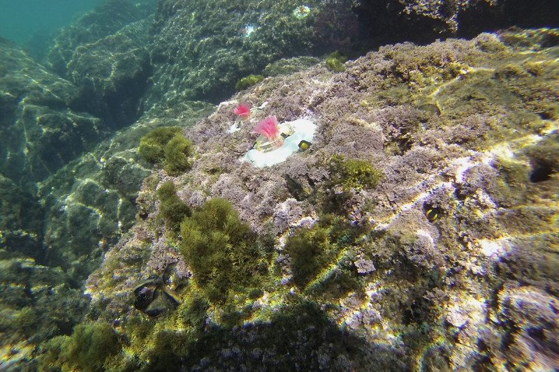 Artificial coralline algae in reef