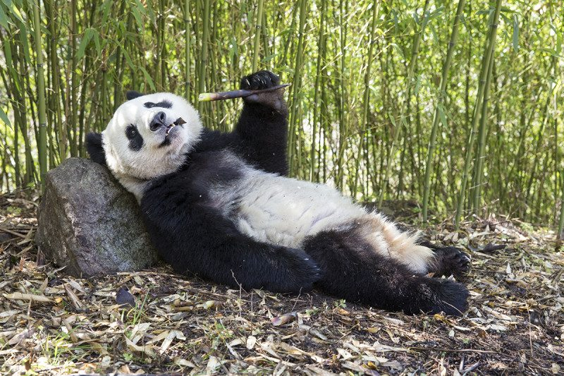 Cool retreats are needed to save giant panda from warmer ...