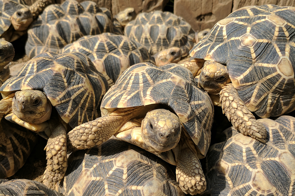 My patrol with armed guards to protect Burmese star tortoises