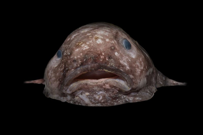Bizarre new deep sea creatures discovered off australian for Deep sea fishes