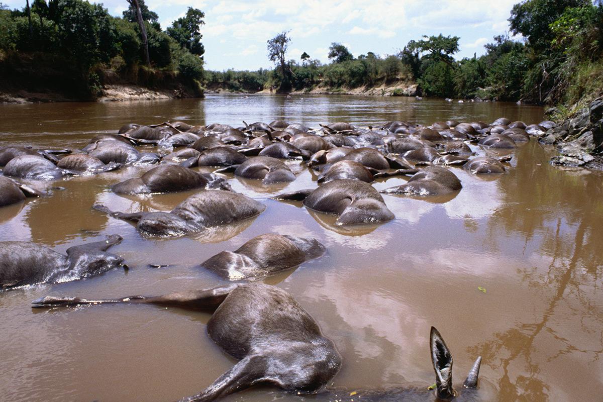 Wildebeest deaths