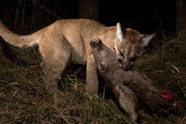 A cougar kitten with a mule deer in its mouth