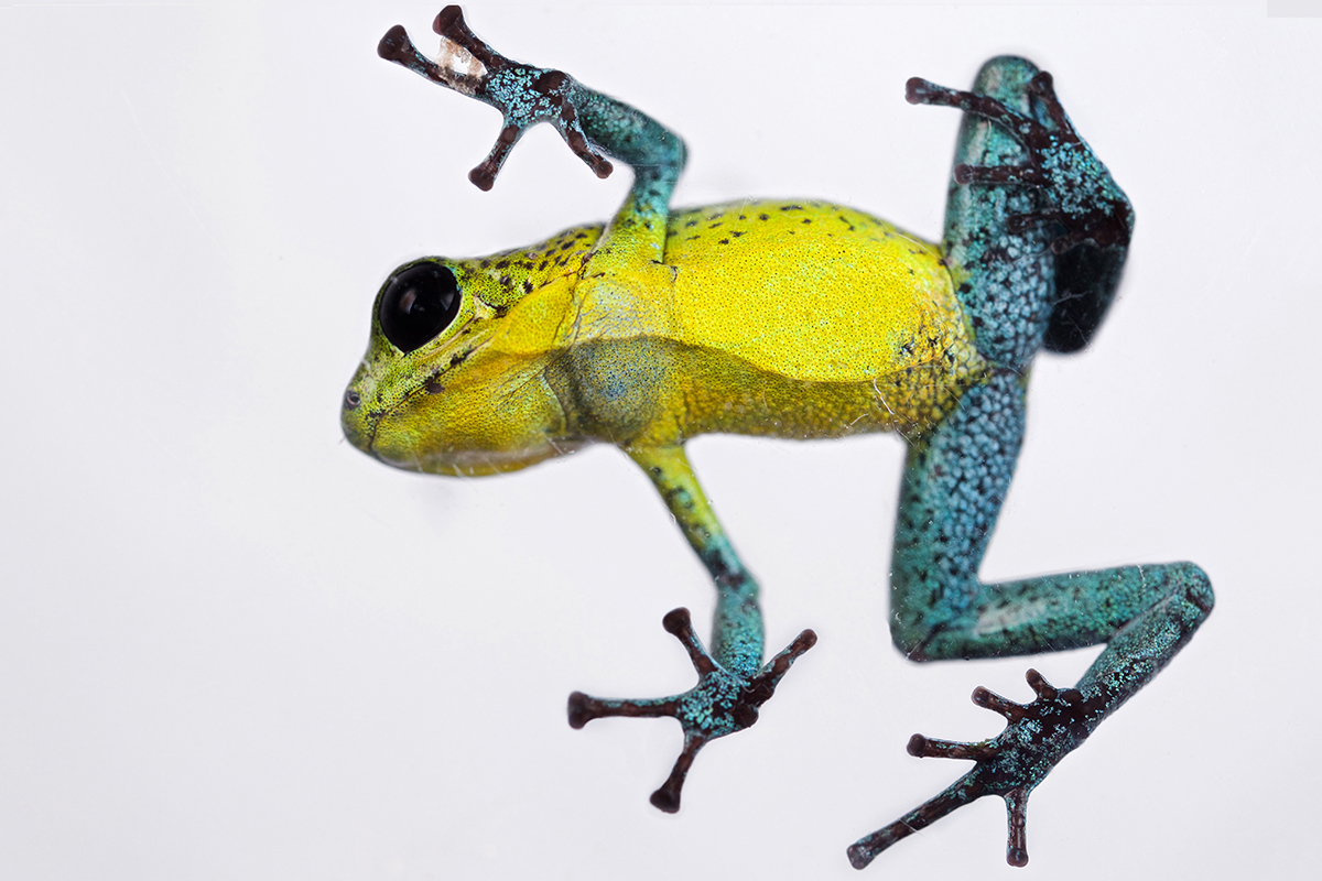gorgeous rainbow frogs come in different colours on every island