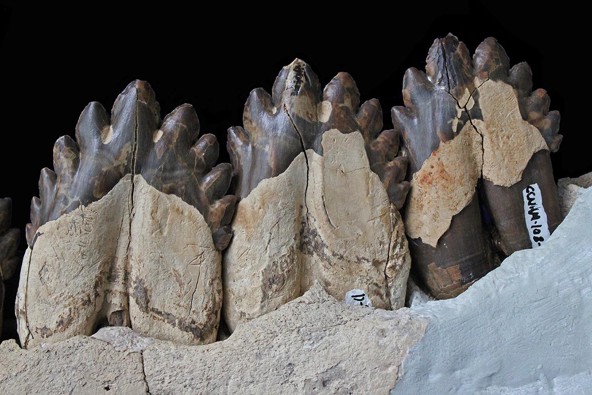 Teeth of Coronodon havensteini