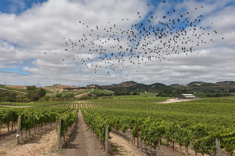 Birds flying over vineyard