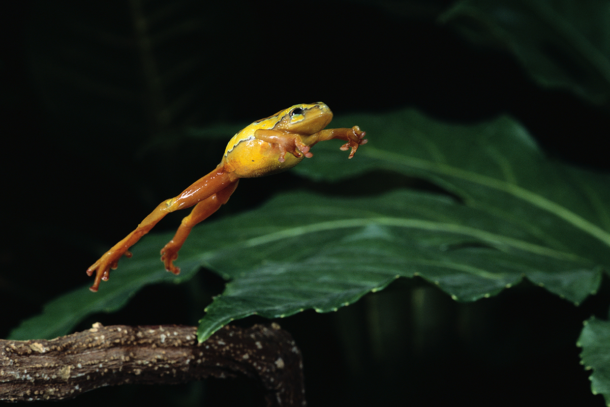 Dinosaur Extinction Allowed Frogs to Conquer the Planet
