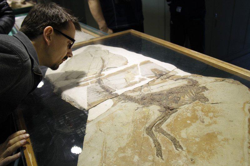 Curator Adam Smith examines the Sinosauropteryx