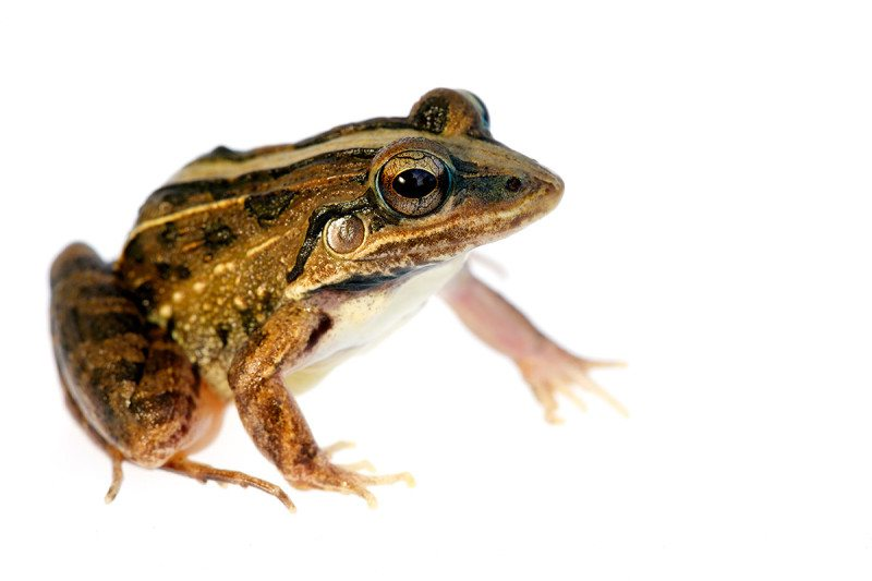 Close-up of a lineated frog