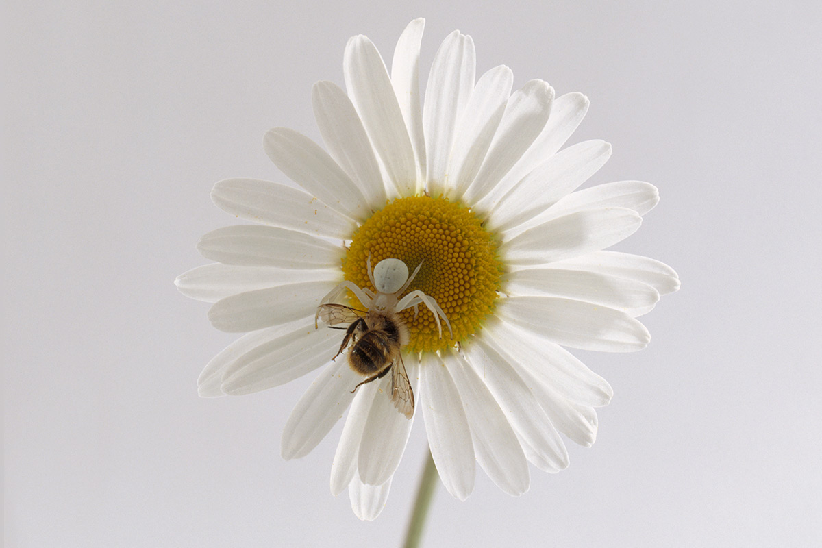 crab spider on a flower eating a bee