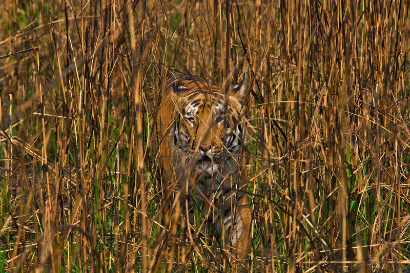 Tiger in vegetation