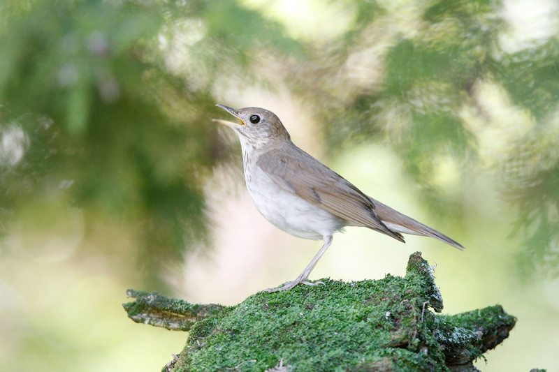 A veery thrush in the midst of singing its swinging song
