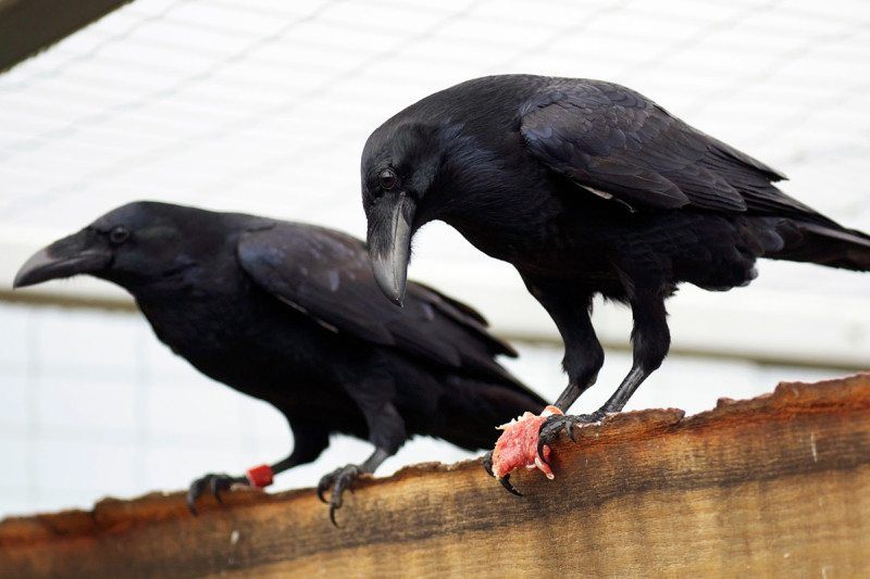 Ravens match great apes at planning Mathias Osvath  Lund University