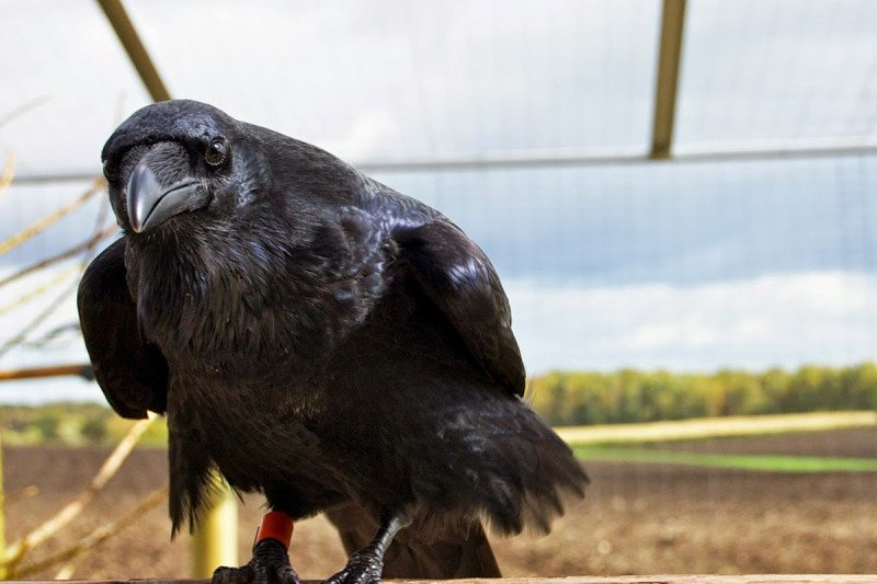 Ravens Have The Rare Ability To Plan Ahead - Almost Like Humans