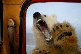 Snarling polar bear at window