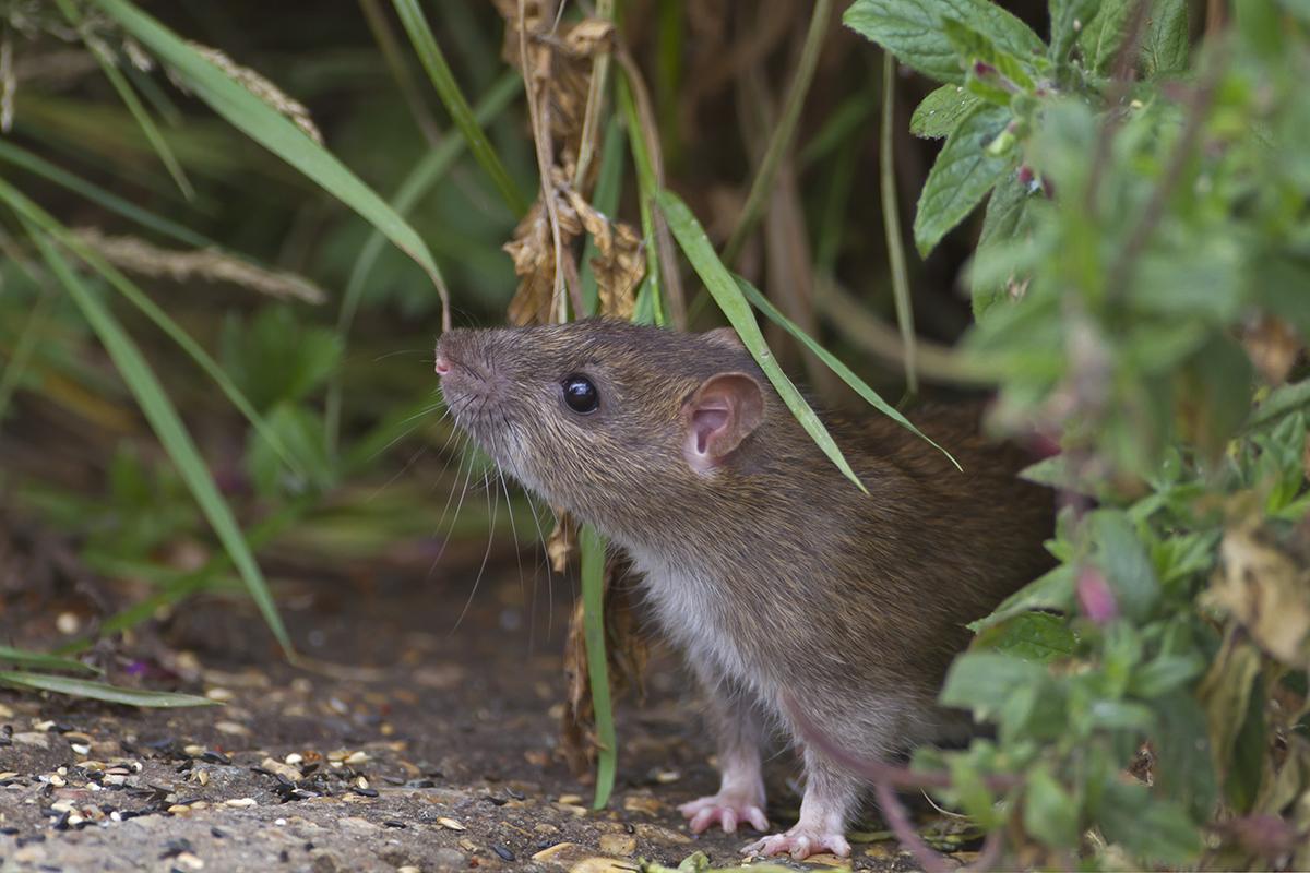 Rat sniffs the air