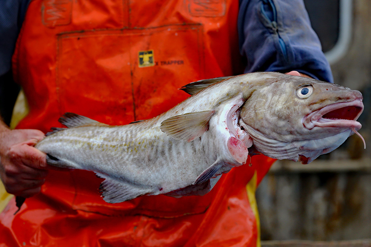 Now North Sea cod is sustainable, is it really ok to eat?