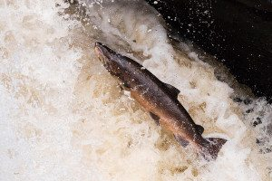 A salmon swimming upriver to spawn