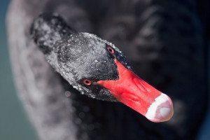 Australian black swan