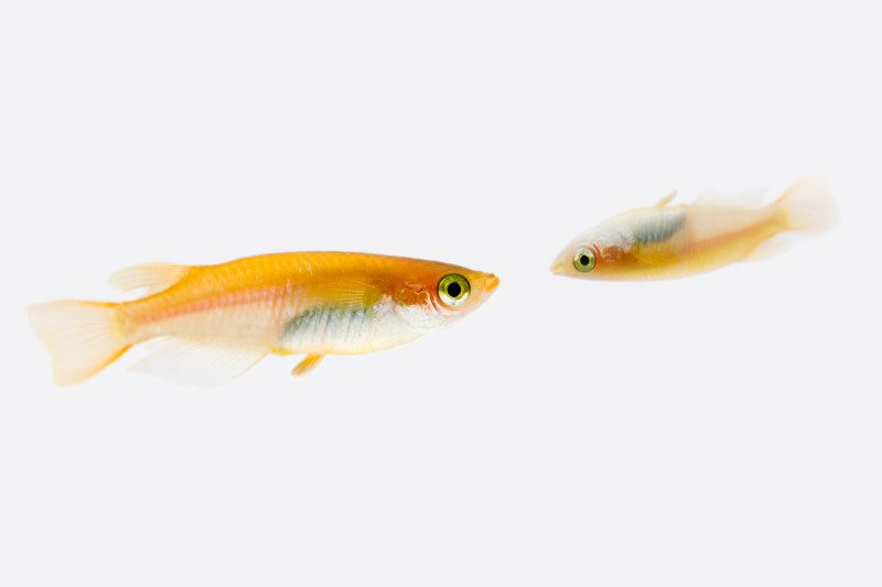 Fish can 39 t recognise faces if they re upside down just for Good beginner fish