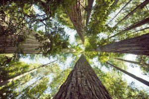 Giant Redwood trees in northern California, United States.
