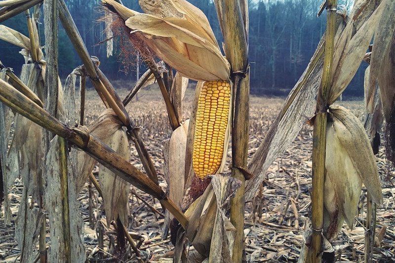 Corn: picky about its growing conditions