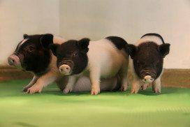 Three piglets huddled together